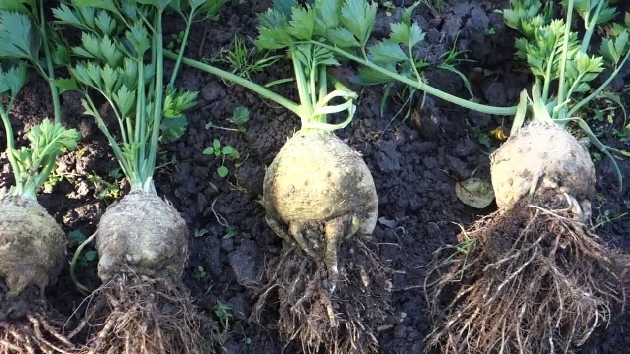 Как правильно выращивать сельдерей корневой из семян