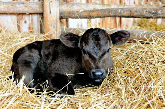 Можно ли выпаивать телят сухим молоком