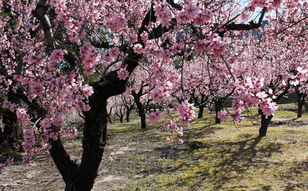 Цветущий декоративный кустарник миндаль: описание с фото, разведение, уход и плоды