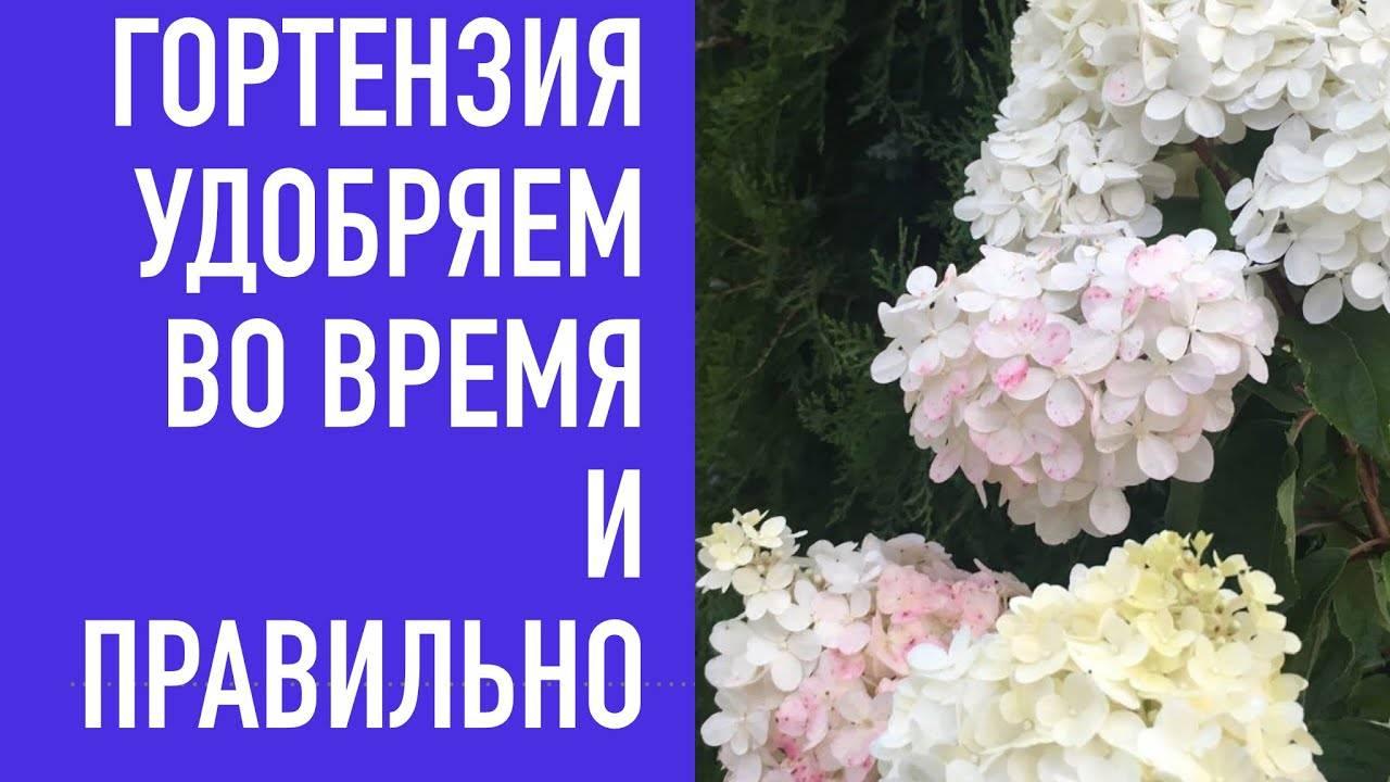 О метельчатой гортензии строберри блоссом — особенности сорта strawberry blossom