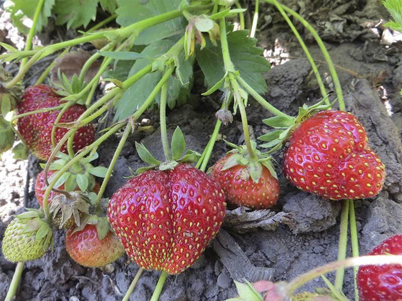 Сорт клубники «царица»: подробная характеристика и особенности выращивания сорта