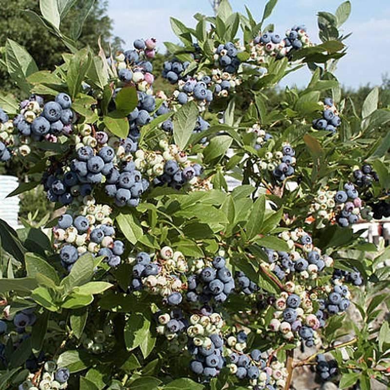 Голубика садовая - сорта, выращивание и уход.