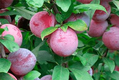 Описание сливы сорта конфетная: характеристики, фото, отзывы садоводов