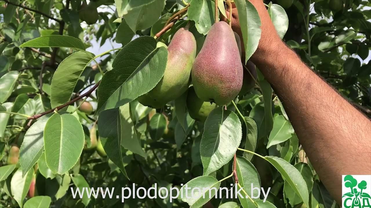 Надёжная груша талгарская красавица: особенности выращивания и ухода