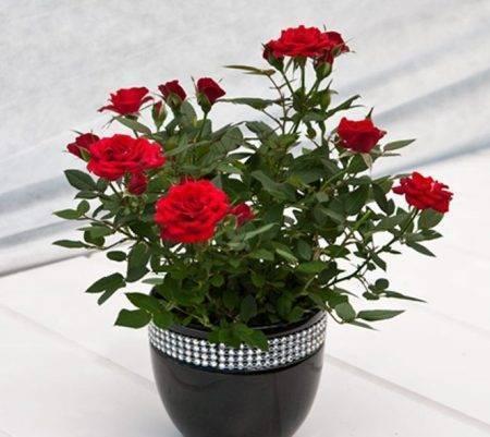 Если заболели розы