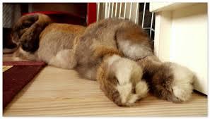 У кролика отказали задние лапы что делать