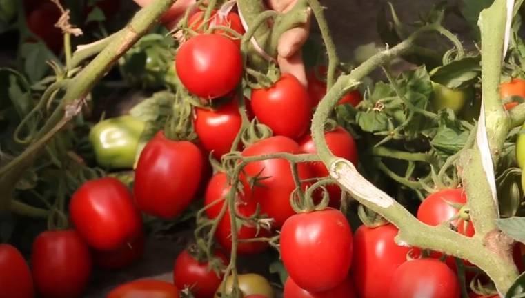 Сорт томата гаспачо отзывы фото
