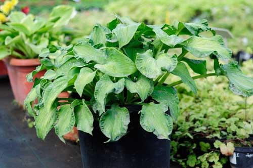 Как выращивать хосты в горшках. когда растение не радует. хоста в горшке на улице — посадка, уход, выращивание