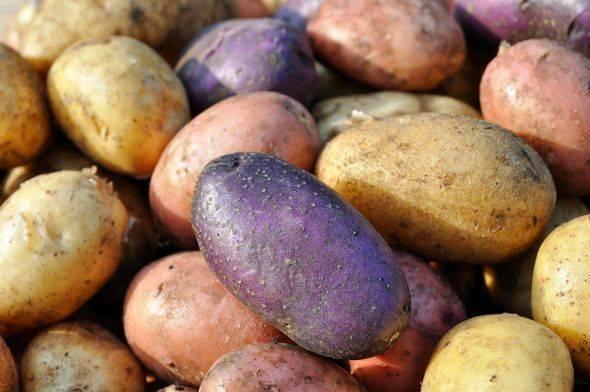 Сорта картофеля – выбираем наиболее вкусные и урожайные для средней полосы