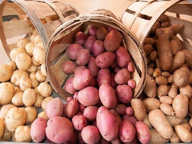 Чем интересен картофель родриго: характеристика сорта, особенности и показатели урожайности. какие условия важно для картофеля сорта родриго