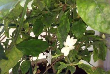 Цветок жасмин – особенности выращивания, рекомендации по уходу, правила размножения и пересадки