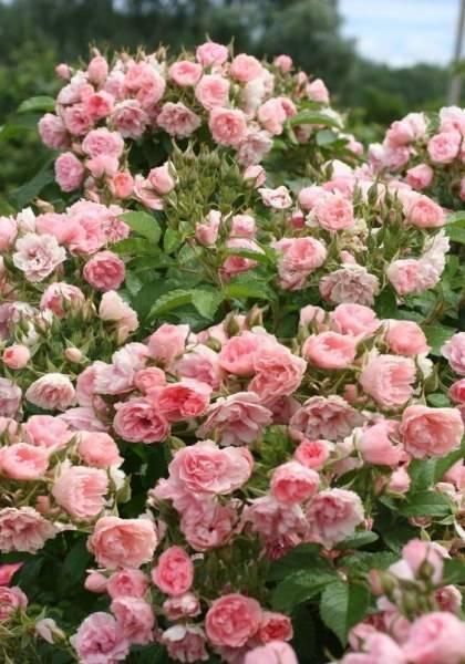 Роза ругоза: описание сорта, посадка и уход