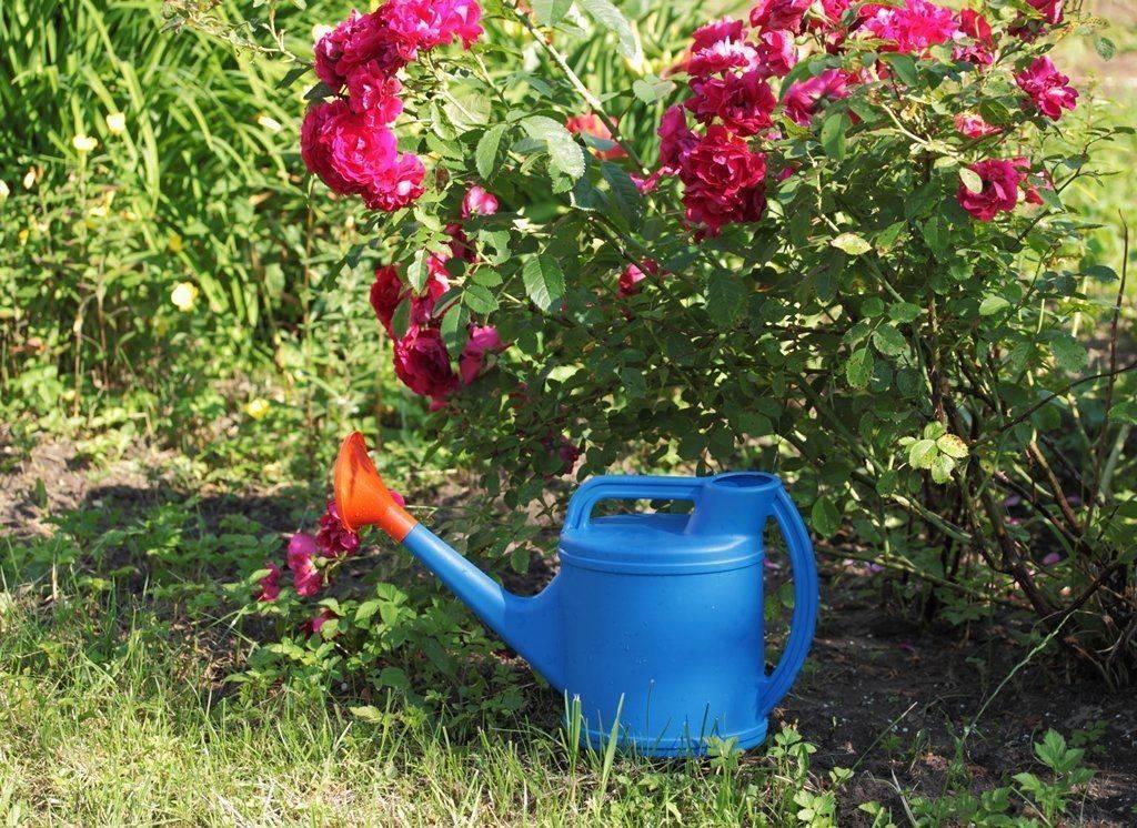 Чем подкормить розы в августе. уход осенью и подготовка к зиме