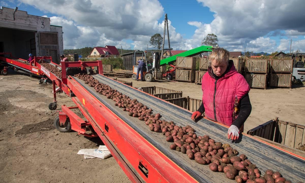 Картофель ресурс: описание сорта, достоинства, сроки посадки, отзывы