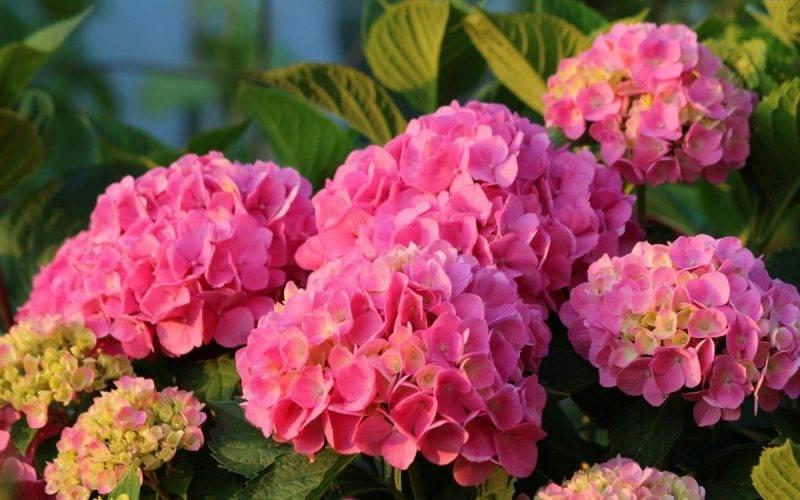 Прекрасный цветок садовая гортензия: посадка и уход в открытом грунте с фото