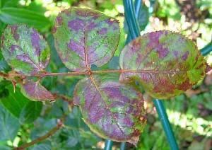 Вредители роз: фото вредителей, лечение и защита, чем обрабатывать розы от вредителей