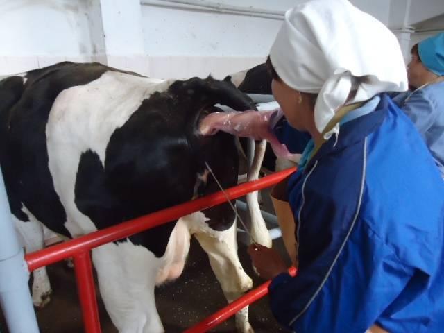 Осеменение коров разными способами