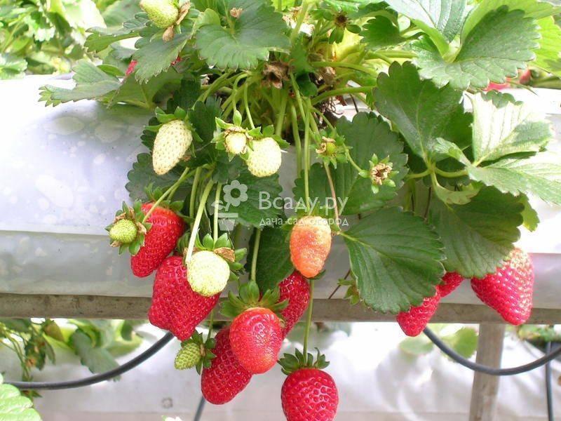 Секреты выращивания ампельной клубники: посадка и уход за ягодами в саду