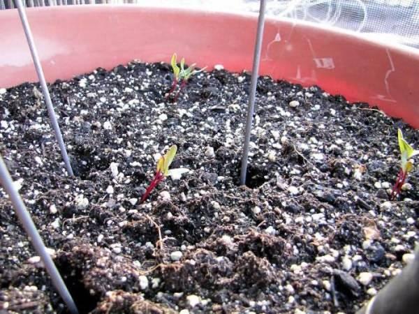 Семена свеклы: какие лучше подходят для открытого грунта, срок годности