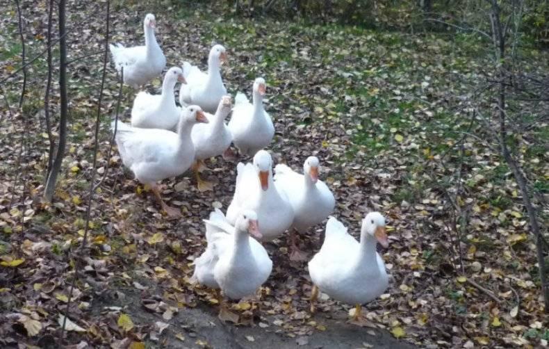 Все о Губернаторской породе гусей: описание, характеристики, как выращивать