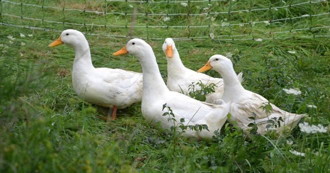 Сколько живут гуси в домашних и диких условиях
