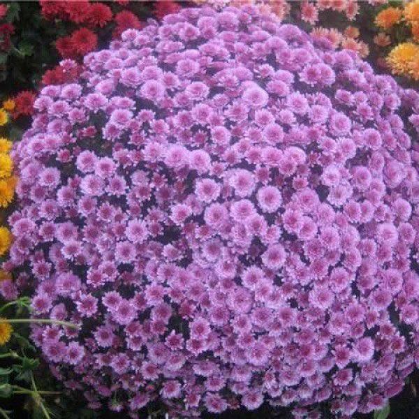 Хризантема мультифлора: особенности, разновидности и выращивание