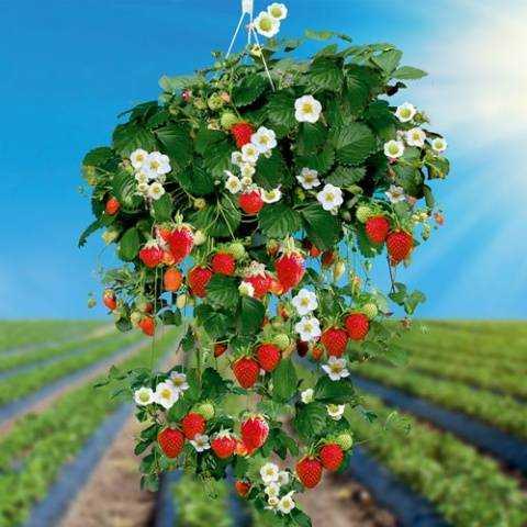 Как вырастить ампельную землянику
