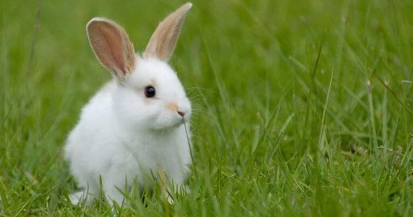 Продолжительность жизни домашних и диких кроликов