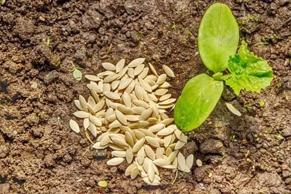 Сколько дней обычно всходят семена огурцов