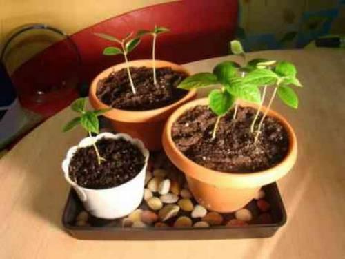 Основные особенности выращивания вишни из косточки