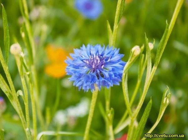 Василек луговой - описание лекарственного растения