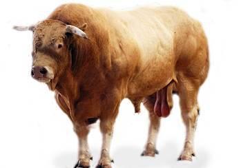 Безрогая или комолая корова. причины комолости с фото и видео