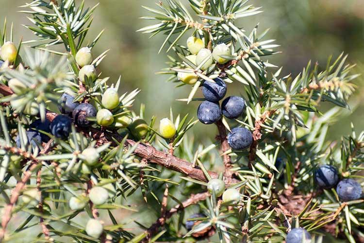 Можжевельник: фото, полезные свойства, противопоказания, лечебное применение средств из ягод и листьев в народной медицине