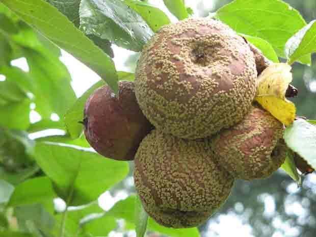 Всё про болезни молодых яблонь, почему гниют яблоки, как нужно лечить