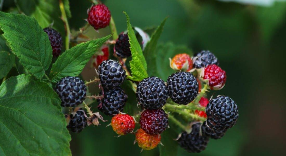 Черная малина: сорта, характеристика, места произрастания, уход и особенности малины (95 фото)
