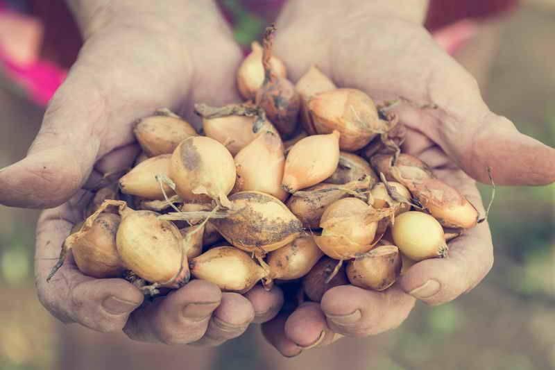 Лук севок – когда сажать, как это правильно делать, особенности дальнейшего ухода