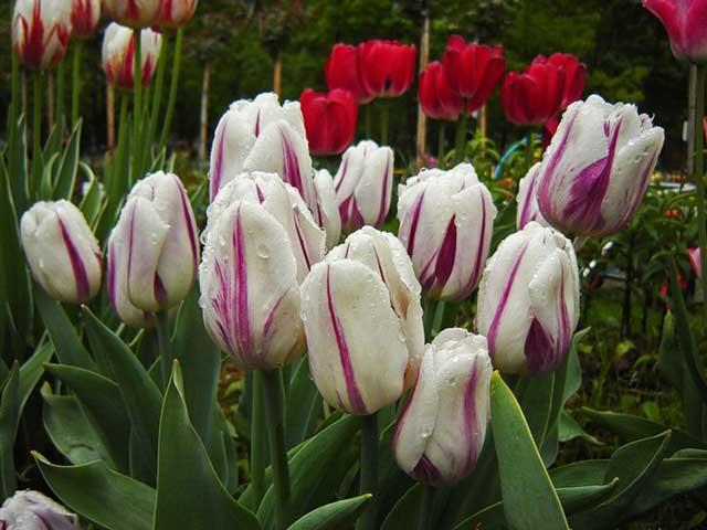 Тюльпан шренка (17 фото): краткое описание вида. где растет? почему тюльпаны шренка называют тюльпанами геснера?
