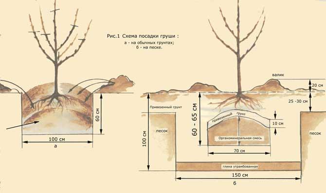 Как правильно сажать грушу весной. как посадить грушу весной и осенью — пошаговое руководство
