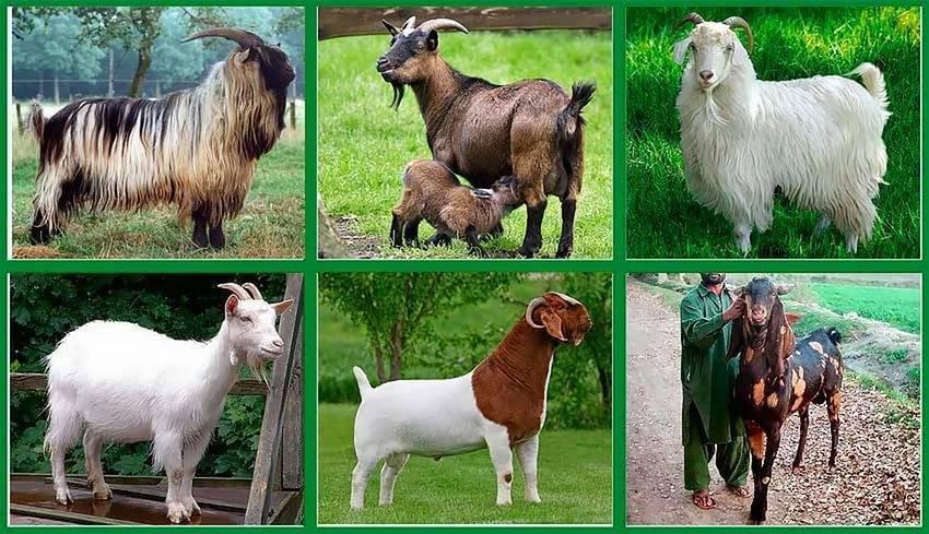 Породы коз – классификация по продуктивности и экстерьеру 2020