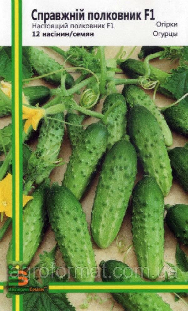 Среднеспелый гибрид огурцов «родничок f1»: фото, видео, описание, посадка, характеристика, урожайность, отзывы