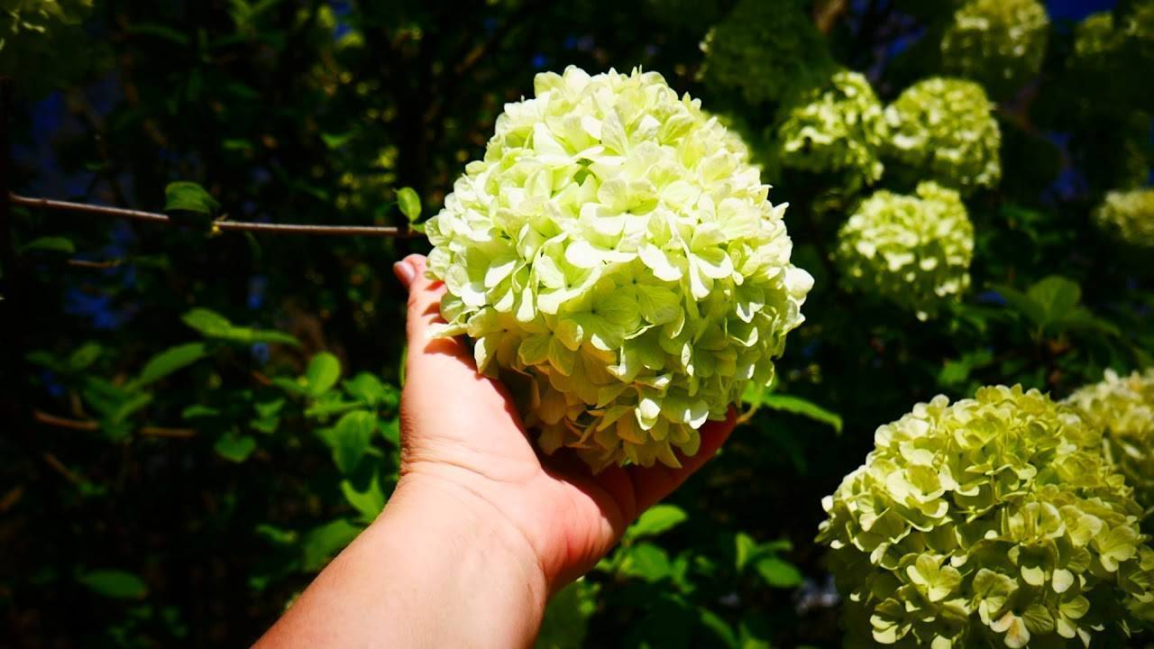 Калина бульденеж: 3 способа размножения и посадка в 7 шагов