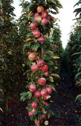 Сорта колоновидной яблони для подмосковья: описание видов