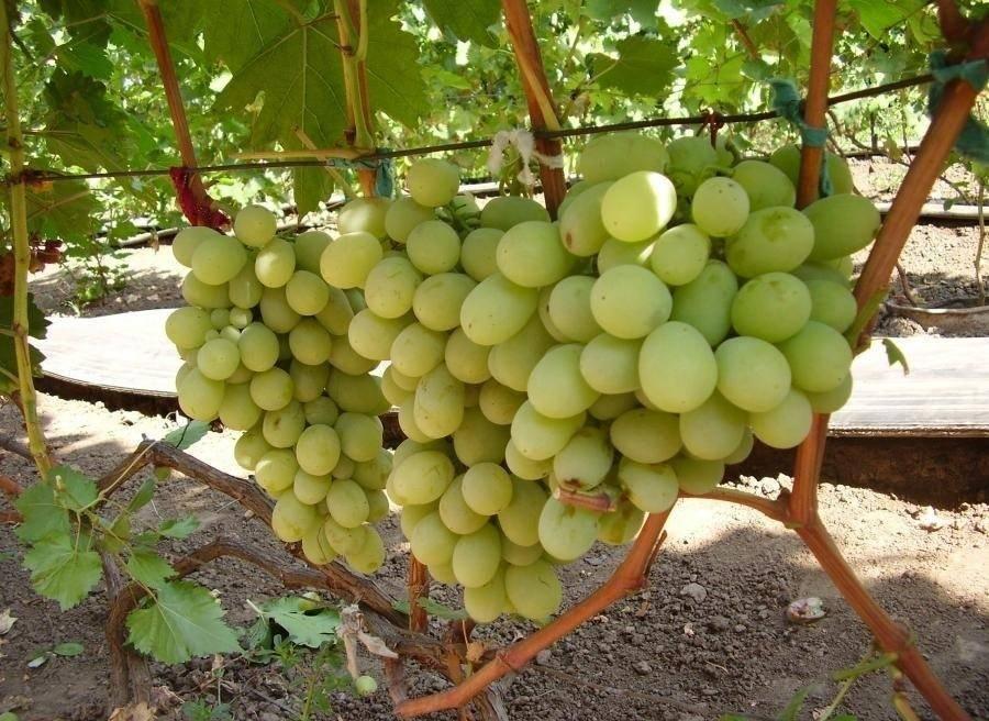 Виноград кеша: описание сорта и фото