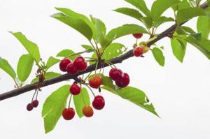 О черешне Бряночка: описание и характеристики сорта, посадка, уход, выращивание
