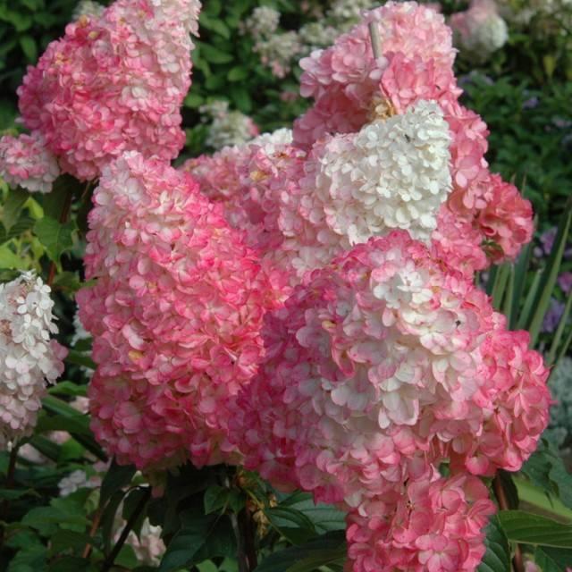 Гортензия метельчатая ванилла фрейз hydrangea paniculata «vanille fraise»