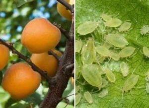 Тонкости выращивания абрикоса