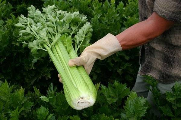 Сельдерей листовой – выращивание и уход в открытом грунте