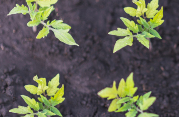 Как замедлить рост рассады помидоров, как затормозить и остановить рост на время