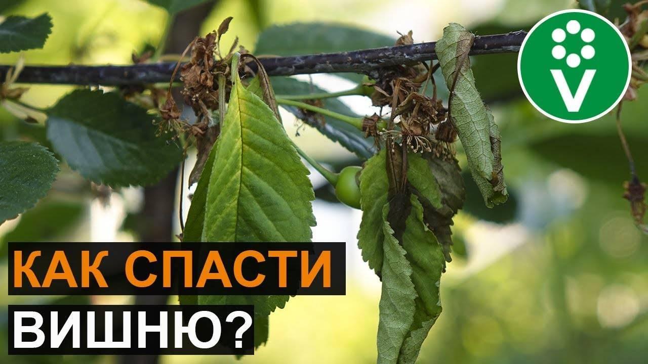 Вишня и черешня – самые опасные болезни и вредители