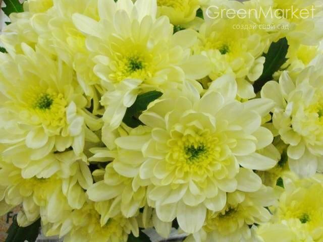 Хризантема зембла — уход и размножение